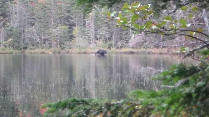 Moose feeding on Little Swift River Pond