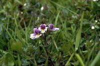 Eyebright flowers in close-up