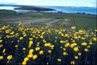 A field of Hawkweed in West Yell
