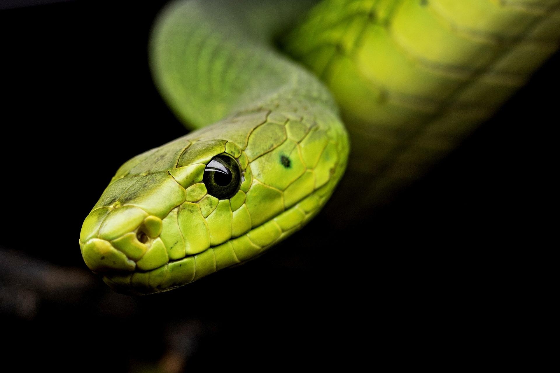 Serpiente venenosa de arbol