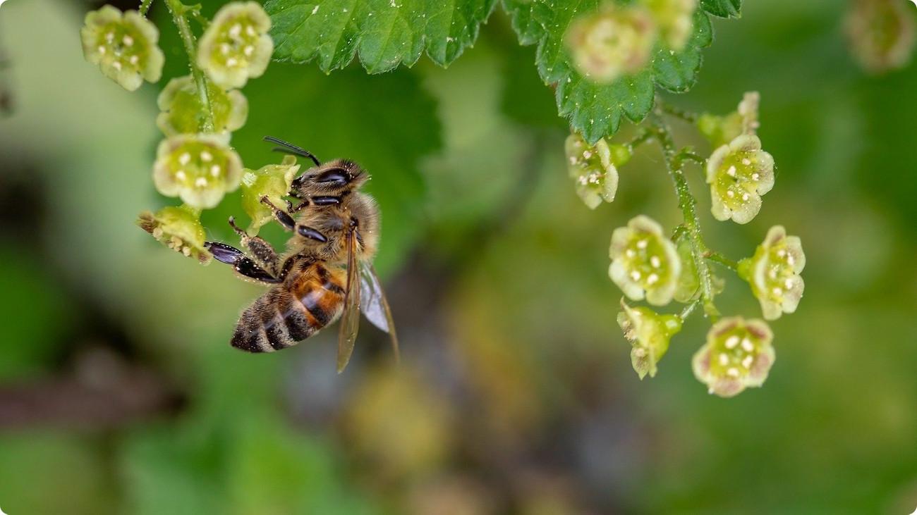 une petite abeille qui butine une toute petite fleur