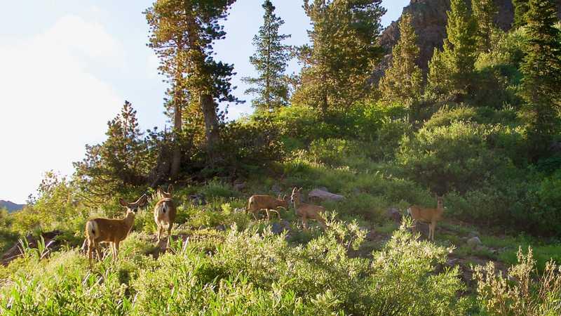 A small herd of mule deer
