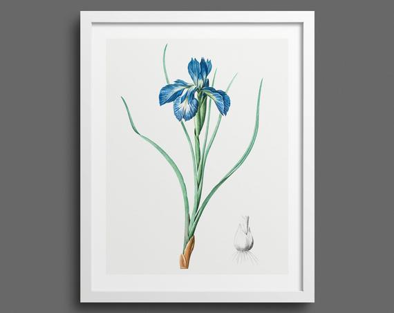 Iris by Pierre-Joseph Redouté