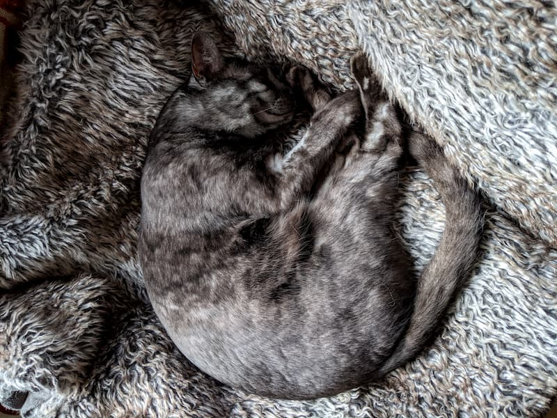 A grey cat lies amongst blankets that camouflage her