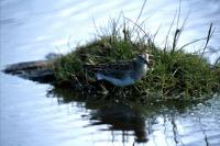 Pectoral Sandpiper wading