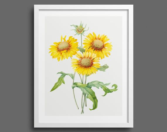 Blanket Flowers (Galardia) by Pierre-Joseph Redouté