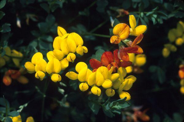 Bird's-foot-trefoil flowers in close-up