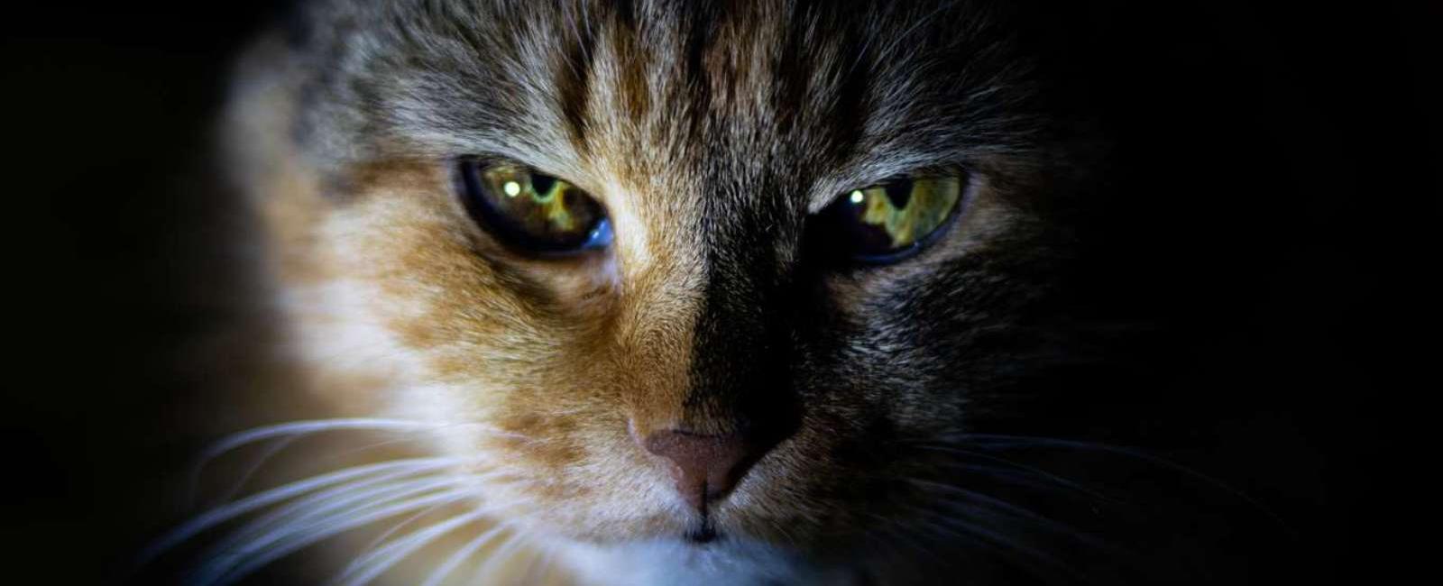 Curiozități despre Pisică