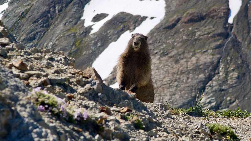 A marmot on Old Snowy