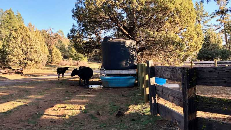 Cattle at Cache 22