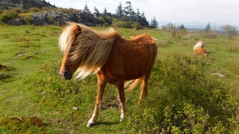 Wild pony in Grayson Highlands