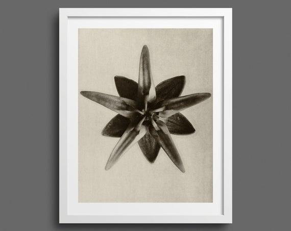 Milkweed - Plate 69