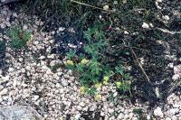 Alpine Ladie's-mantle grows by gravel
