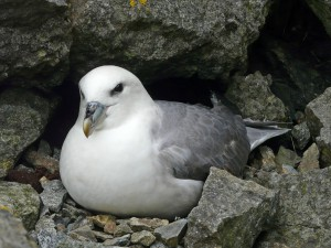 Picture of a Fulmar
