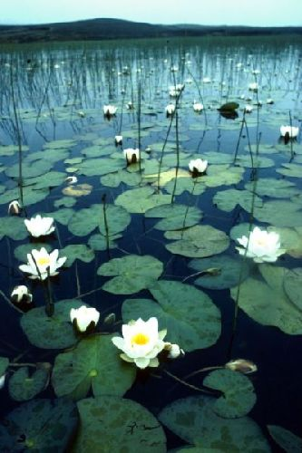 White Water-lilies at the edge of a loch