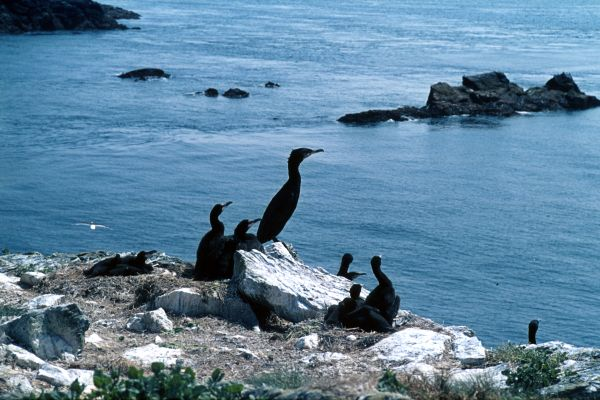A small group of Cormorants on the Cliffside