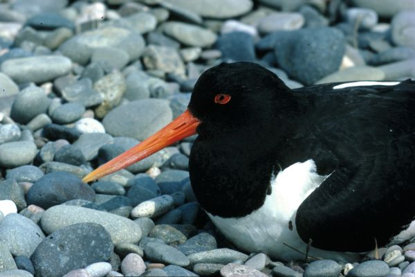 An Oystercatcher sits upon it's nest