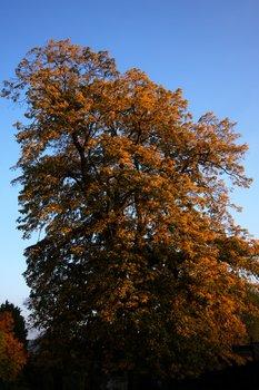 Orange Tree 1687