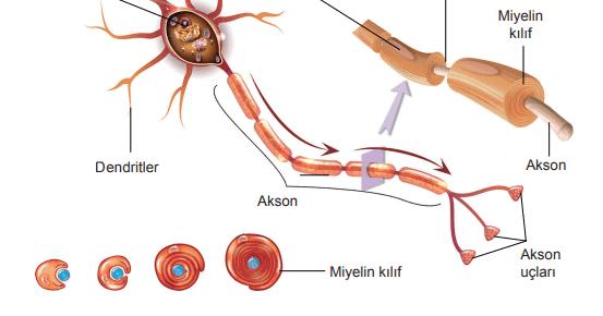 Sinir Sistemi Rahatsızlıkları ve Sağlığın Korunması