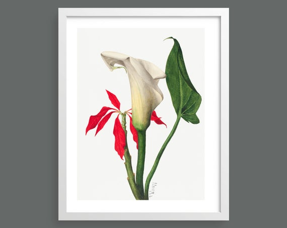Calla Lily flower by Mary Vaux Walcott