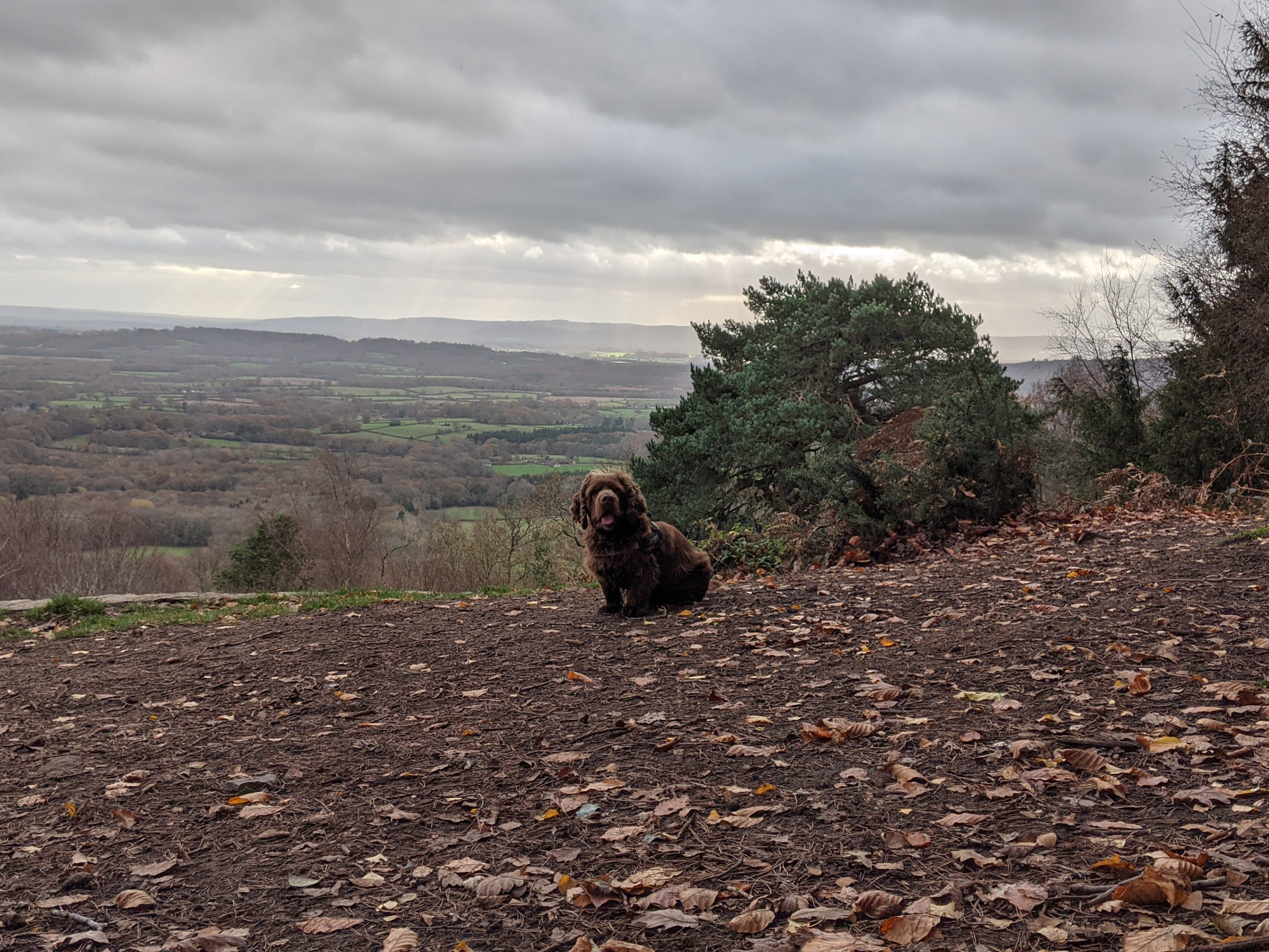 Sussex spaniel dog looking straight at the camera with green hills in the distance.