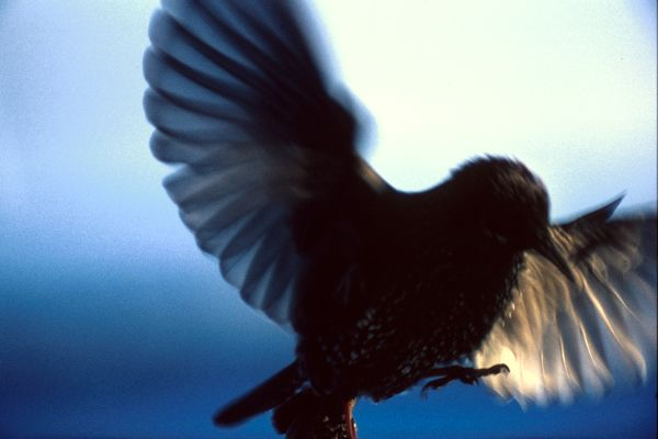 A Starling landing