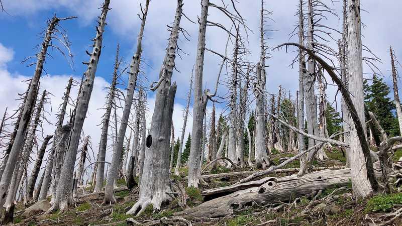 Burnt trees stand barren