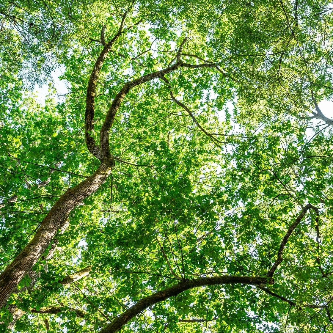 A healthy tree canopy which will help protect against climate change