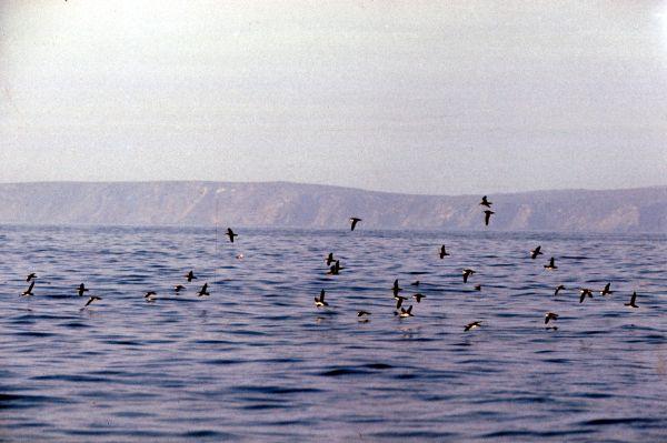 A flock of Shearwaters take flight