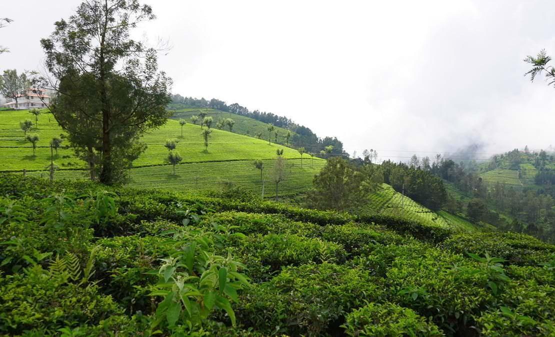 A clear view of Coonoor Tea Estate slopes towards Kodamalai