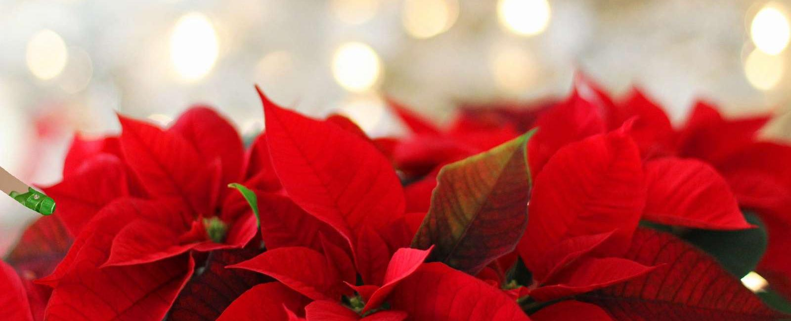 Poinsetia sau Crăciunelul, care este adevărata floare a iernii