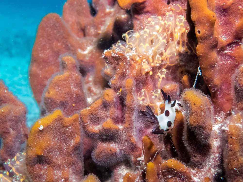 Nudibranch, Great Barrier Reef