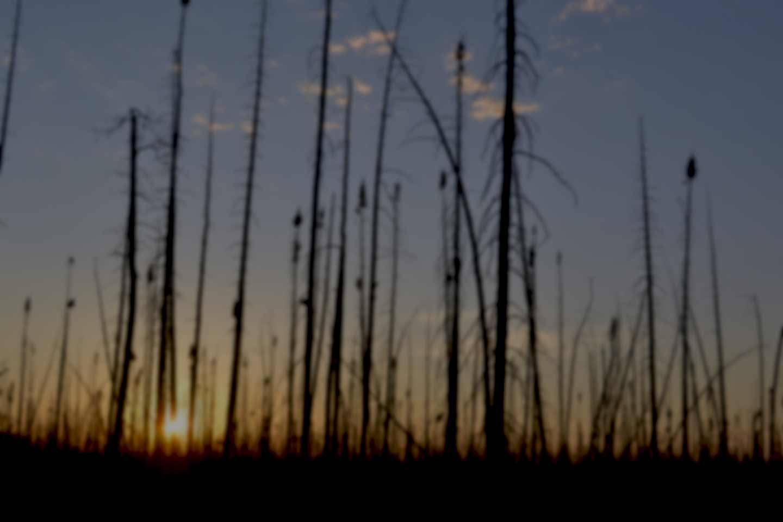 Burned forest sunset