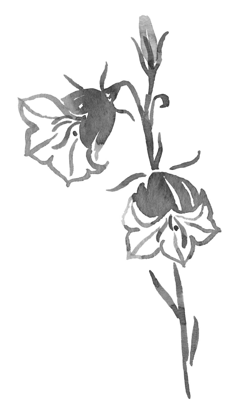 Watercolor illustration of a Campanula flower.