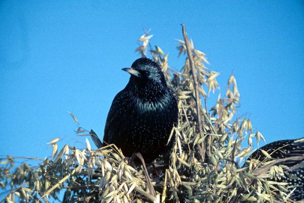 A Starling perches on oats