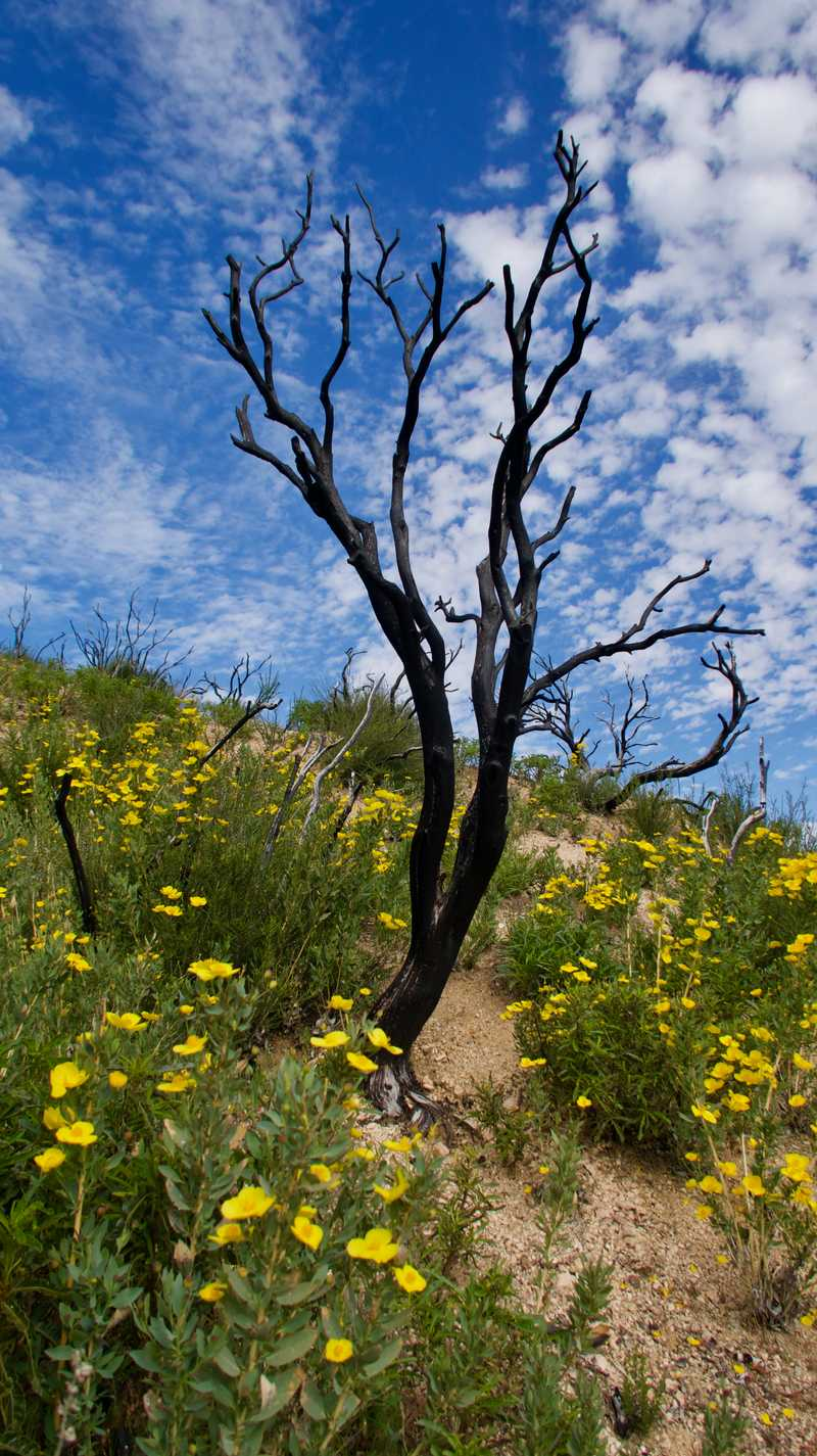 Burnt tree on the PCT