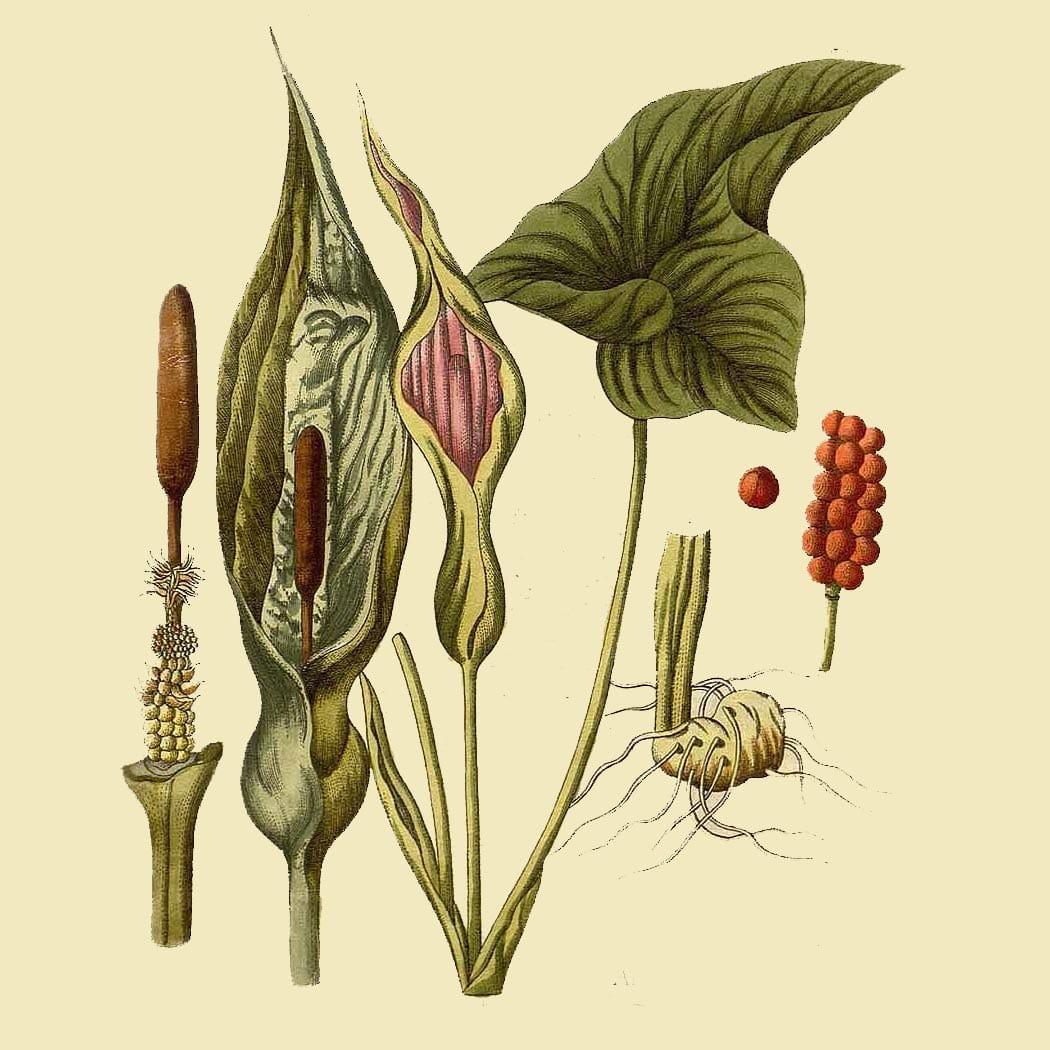 Спатифиллум (Spathiphyllum). Источник: plants.ces.ncsu.edu