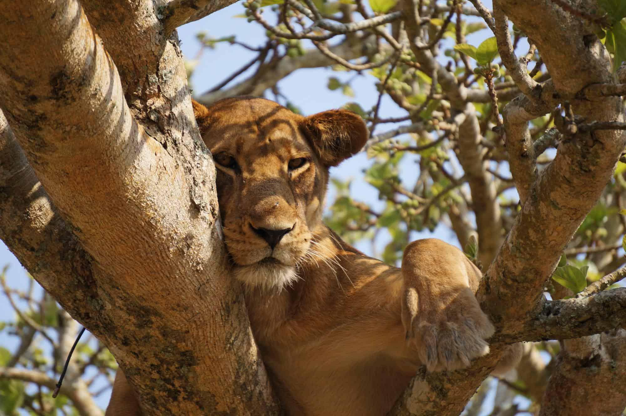 lioness lying on gray tree during daytime by Maarten van den Heuvel