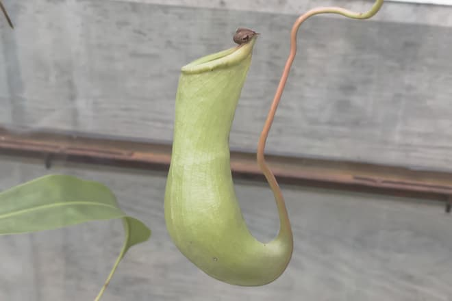 A pitcher plant hangs down on a vine.