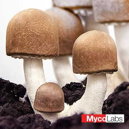 Agaricus brasiliensis | MycoLabs