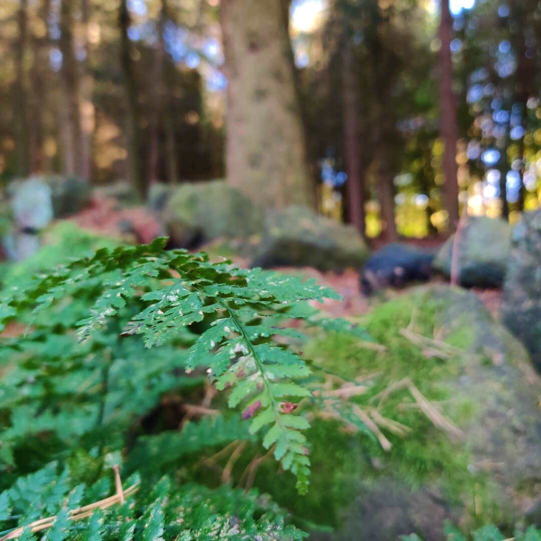 Ferns and undergrowth in Otley Chevin