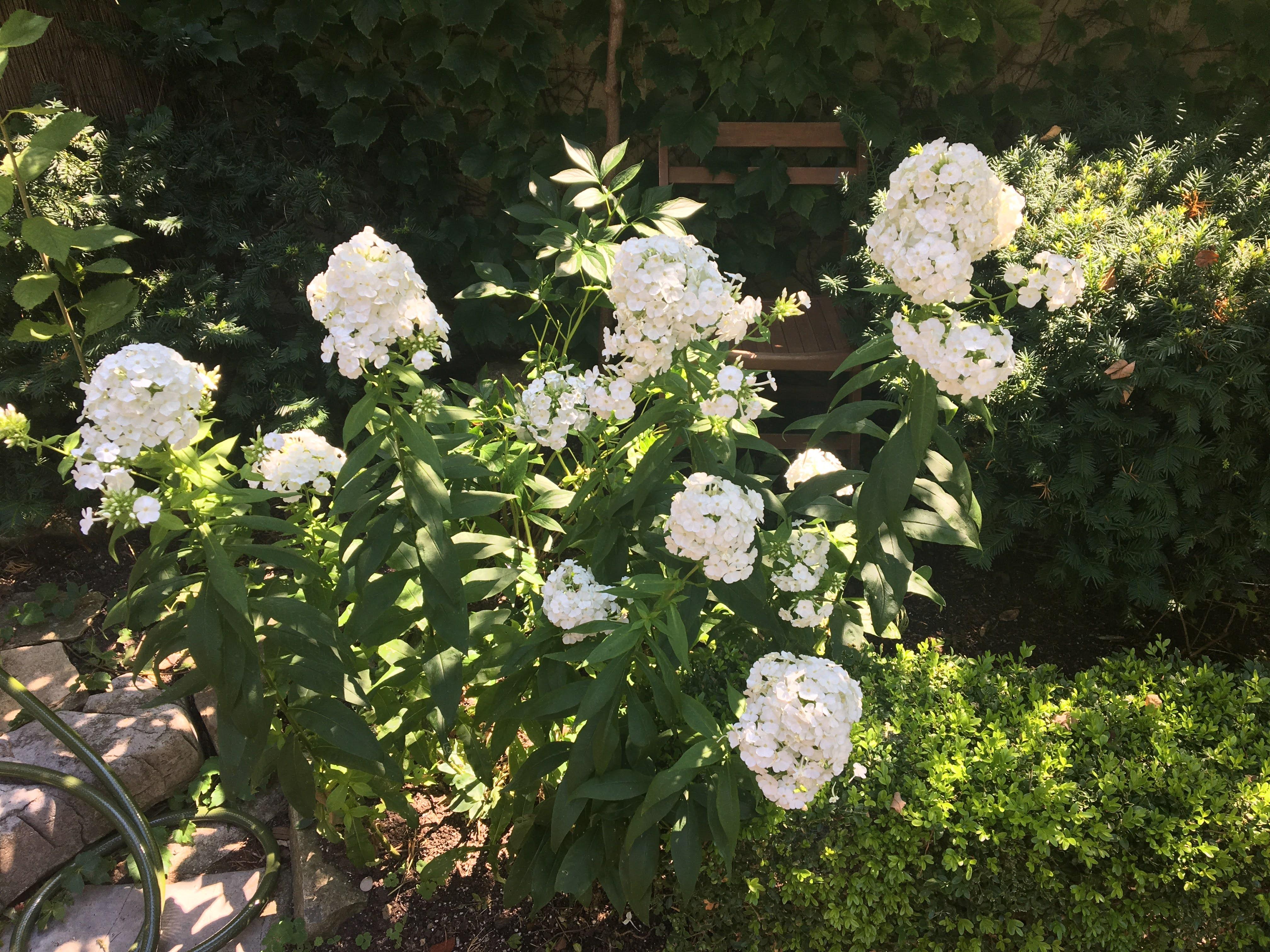 Garden phlox in full bloom