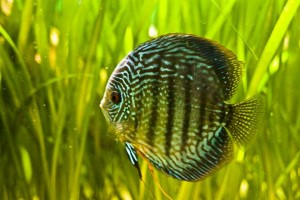 Tips To Care For Your Discus Fish