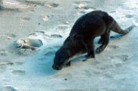 An Otter at Gossabrough. East Yell