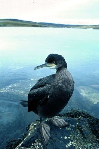Single Shag rests on a small rock