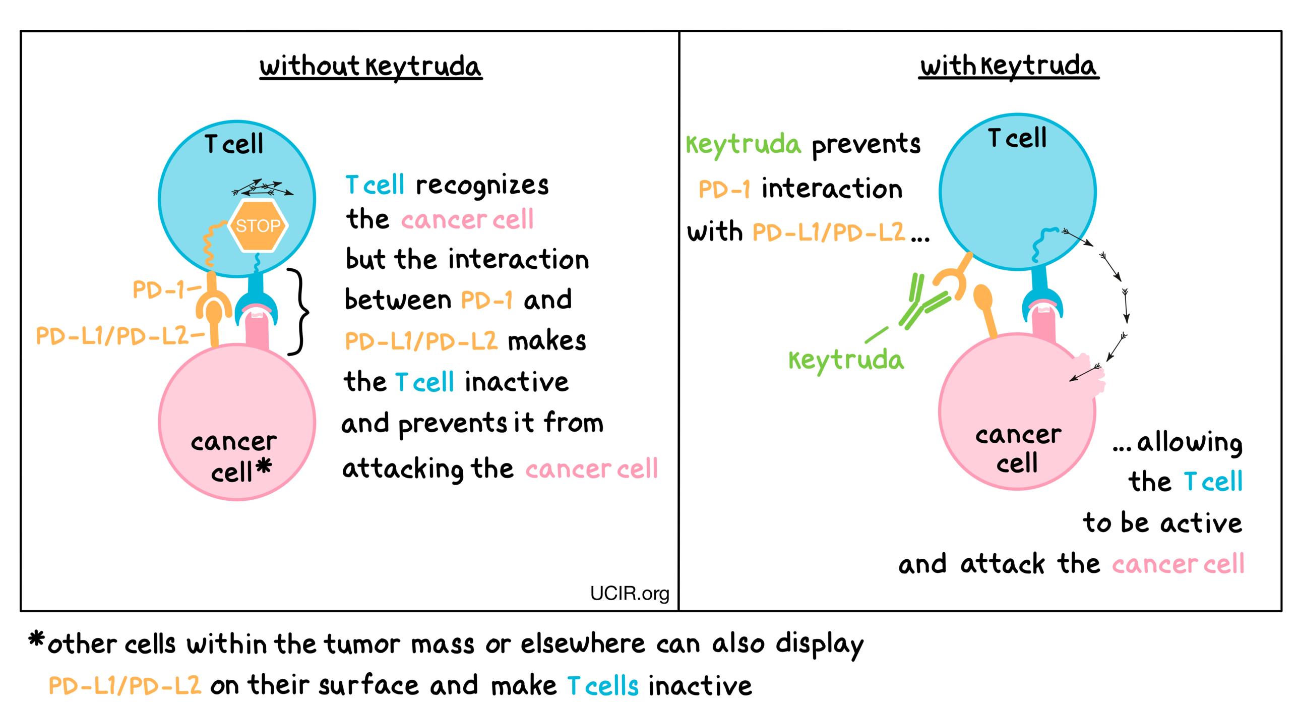 Illustration that shows how Keytruda works