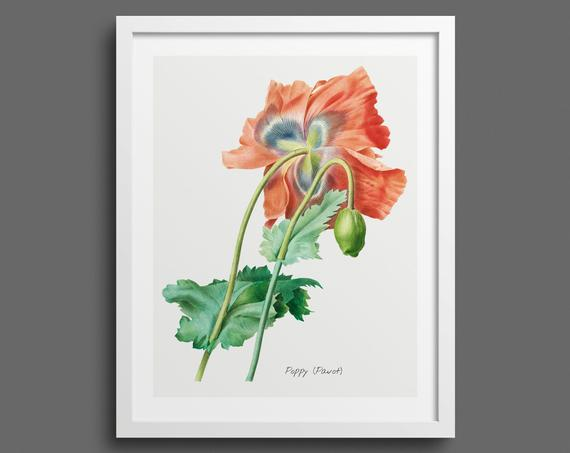 Poppy by Pierre-Joseph Redouté