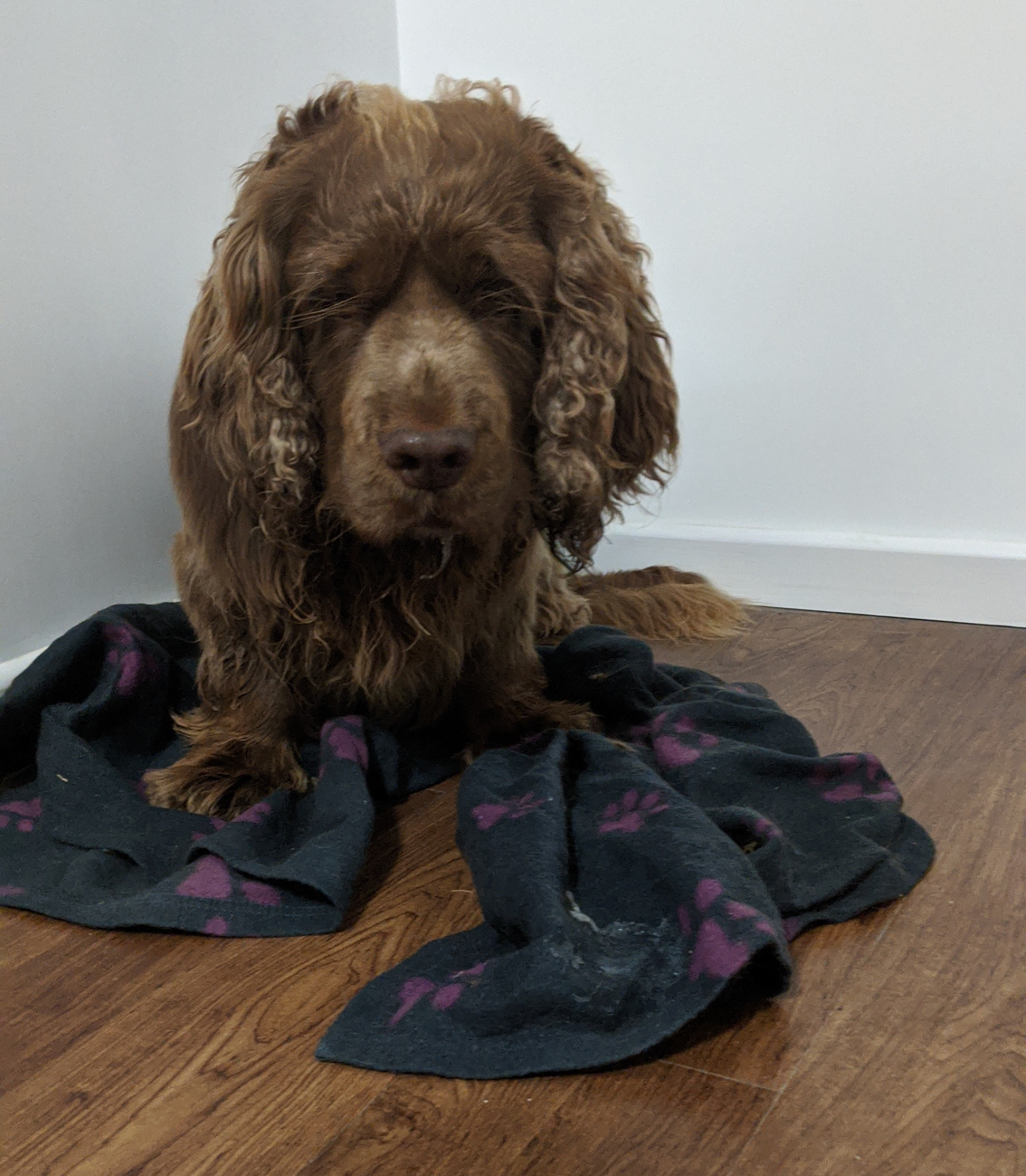 Sussex Spaniel sat on top of a blanket on a wooden floor.