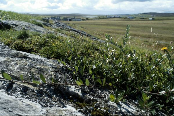 Creeping Willow grows against an exposed rock