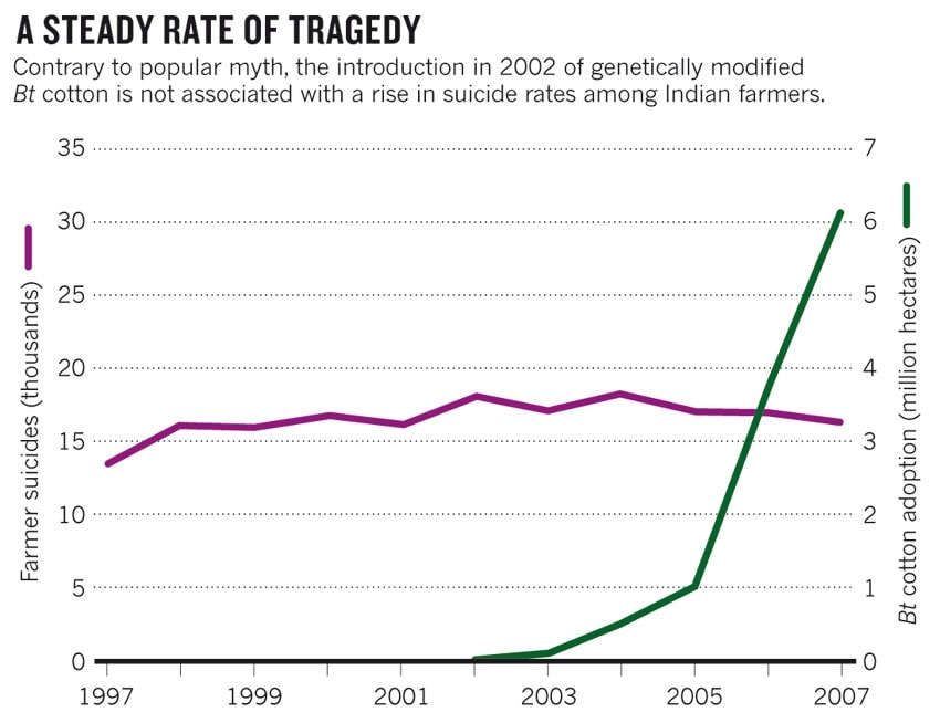 2. ábra: Az öngyilkosságot elkövető farmerek száma (lila vonal) és a Bt-gyapot termőterületének változása (zöld vonal). Egyértelműen látszik, hogy míg a Bt-gyapot termőterülete meredeken emelkedett, addig az öngyilkosságok száma enyhén csökkent (CHOUDHARY, B. – GAUR, K. 2015).